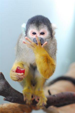 squirrel-monkey-eating.jpg
